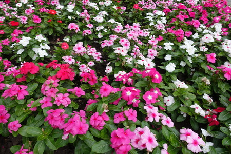 Many bright multicolored flowers of Catharanthus roseus