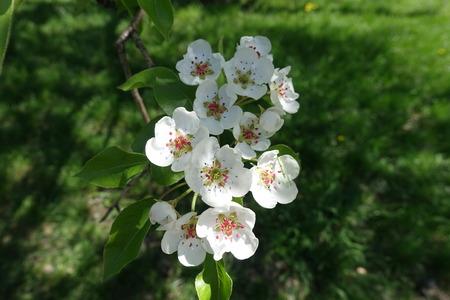 Macro of blooming pear tree branch in spring