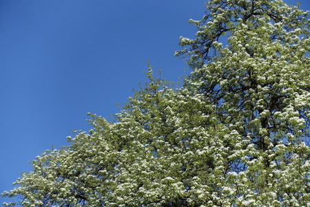 Pear tree in full bloom against the sky Stock Photo