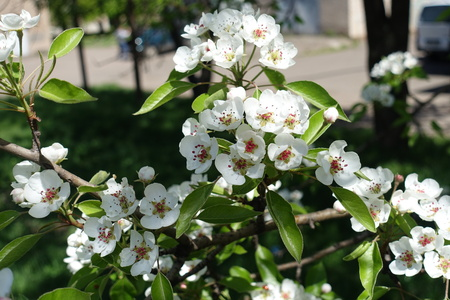 Plenty of pure white flowers of pear tree stock photo picture and plenty of pure white flowers of pear tree stock photo 92145627 mightylinksfo