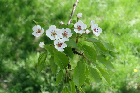 Pure white flowers and buds of pear stock photo picture and royalty pure white flowers and buds of pear stock photo 92145629 mightylinksfo