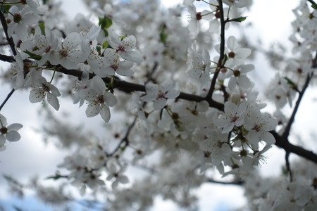 Close up of plum branch with flowers