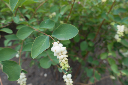 White berry like drupes of Symphoricarpos albus Stock Photo