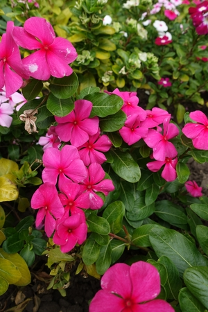 Bright deep pink flowers of Catharanthus roseus