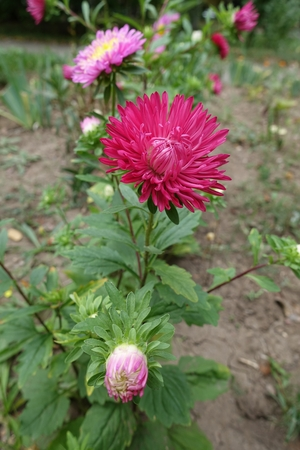 Ruby flower head and buds of china aster_