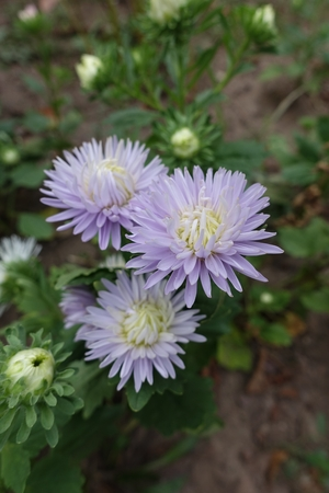 Three pastel violet flowers of china aster
