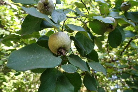 Leaves and fruits of quince in september
