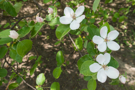 Florescence of Cydonia oblonga in spring orchard