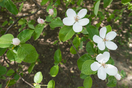 White flowers and pinkish closed flower buds of quince