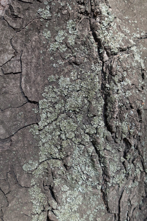 Blue grey lichen on bark of horse chestnut