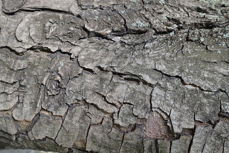 Dry cracked bark of horse chestnut tree