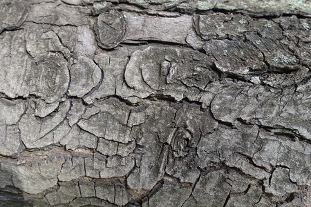 Surface of bark of horse chestnut tree Imagens