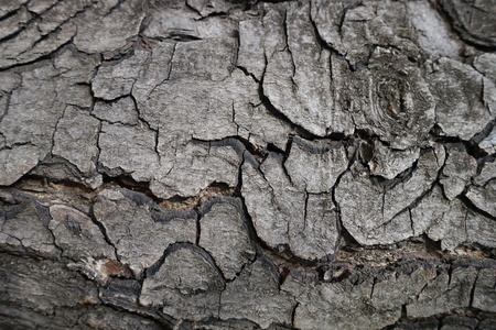 Uneven surface of bark of horse chestnut