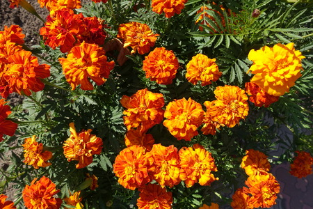 Lots of bright flowers of french marigolds Stock Photo