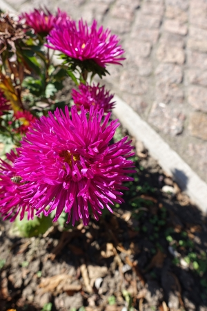 Rose red flower head of china aster