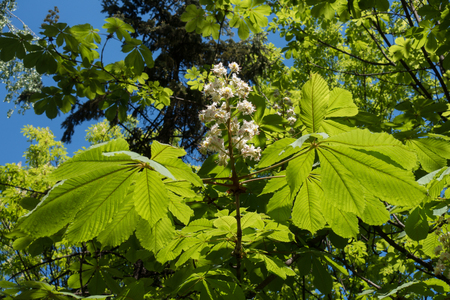 Two large leaves and blossom of horse chestnut