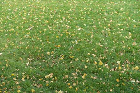 Fallen birch leaves on lawn in autumn