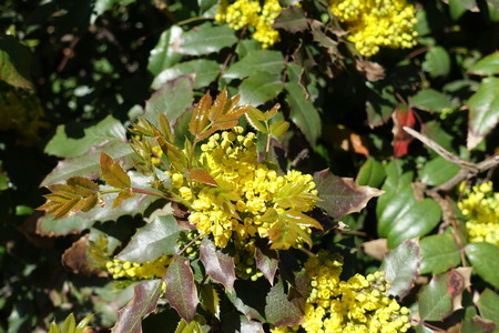 Young leaves and flowers of Mahonia aquifolium in spring