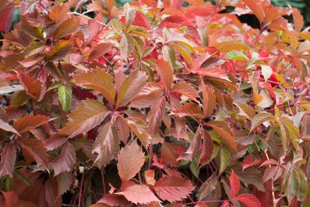 Colorful foliage of Parthenocissus quinquefolia in autumn