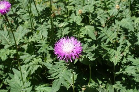 Light pink flower head of Persian cornflower Stock Photo