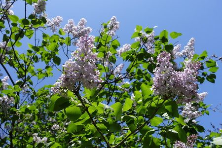 Panicles of lilac flowers against the sky