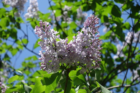 Two panicles of common lilac flowers and buds
