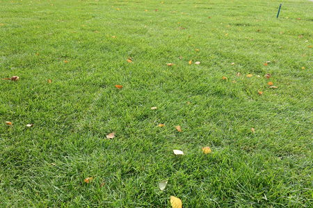 Mown lawn with several fallen leaves of birch Stock Photo