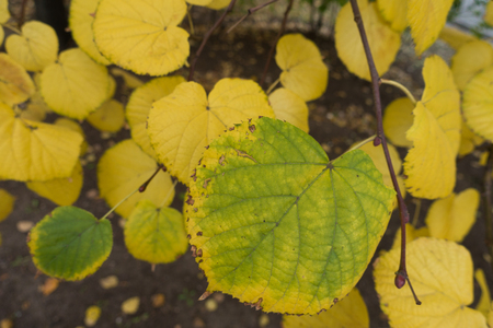 Close shot of yellowish green leaf of lime