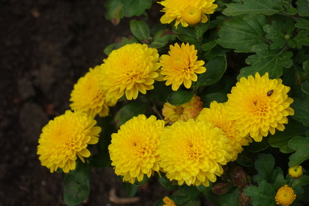 Close shot of amber yellow chrysanthemum flowers stock photo close shot of amber yellow chrysanthemum flowers stock photo 95173868 mightylinksfo