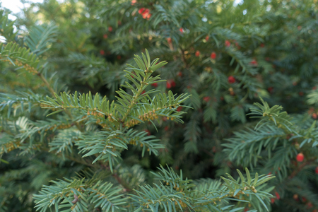 Yew branches with male and female cones in autumn