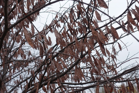 Brown pods on branches of cercis canadensis