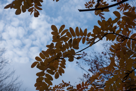 Branch of rowan against the sky in autumn