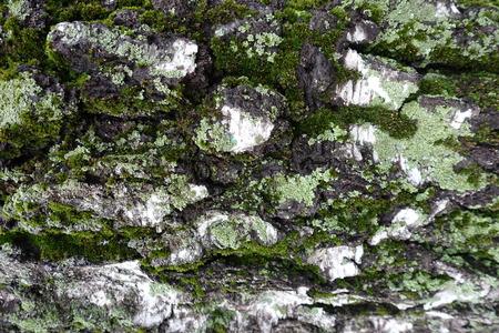 Green moss and lichen on white birch bark