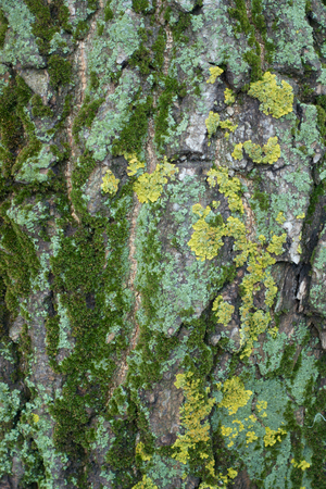 Colorful lichen and moss on tree bark