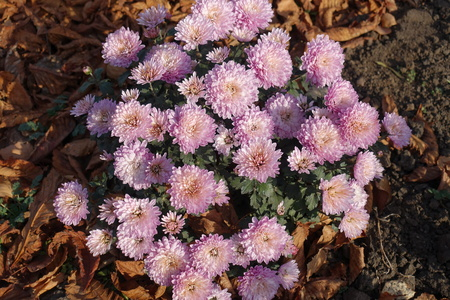 Globose bush of Chrysanthemum with light pink flowers Foto de archivo