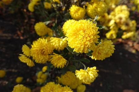 Bright yellow flowers of chrysanthemum in november stock photo bright yellow flowers of chrysanthemum in november stock photo 97884406 mightylinksfo