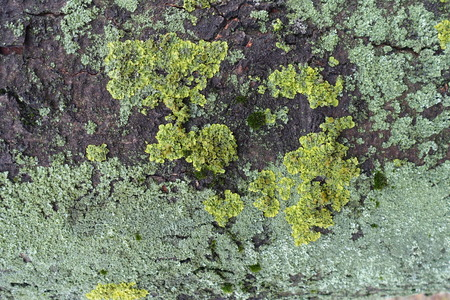 Bluish and yellowish green lichen on bark of horse chestnut