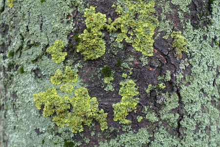 Mint and yellow green lichen on bark of horse chestnut 写真素材