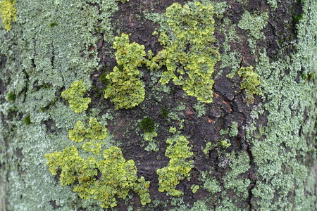 Two types of lichen on the bark of horse chestnut tree
