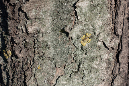 Bark of horse chestnut tree with dry lichen 写真素材