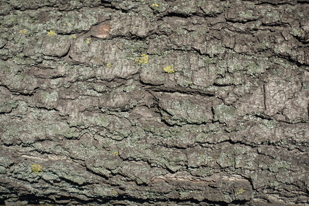 Crackled dry bark of horse chestnut tree