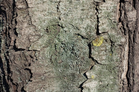 Dry bark of horse chestnut tree with lichen 写真素材