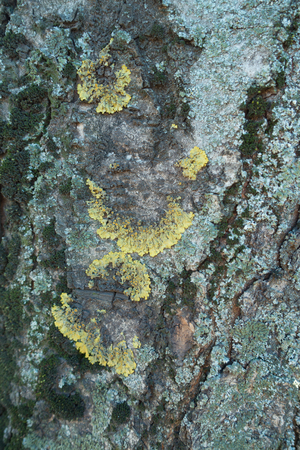 Half circles of lichens on bark of horse chestnut