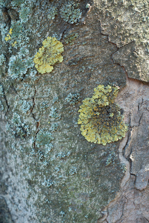 Two types of lichens on bark of horse chestnut