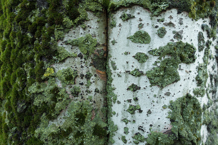 Moss, mint green and yellow lichen on light bark of silver poplar