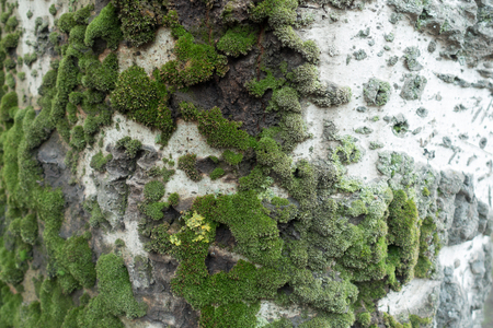 White bark of silver poplar with moss