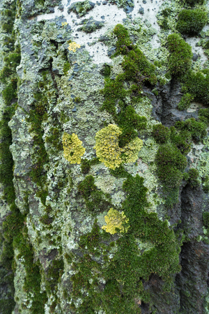 Yellow circles of Xanthoria parietina lichen on bark of white poplar