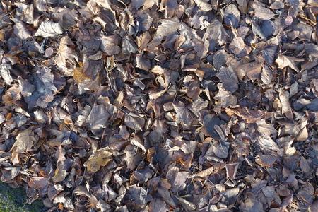 Dull brown fallen leaves in late autumn Standard-Bild