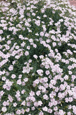 Small five petaled pink flowers of dianthus