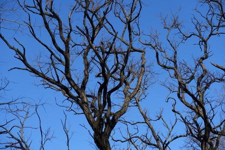 Leafless branches of Robinia pseudoacacia against blue sky 版權商用圖片